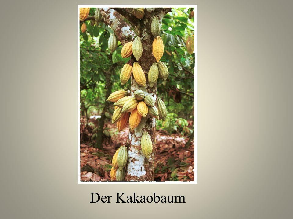 Der Kakaobaum