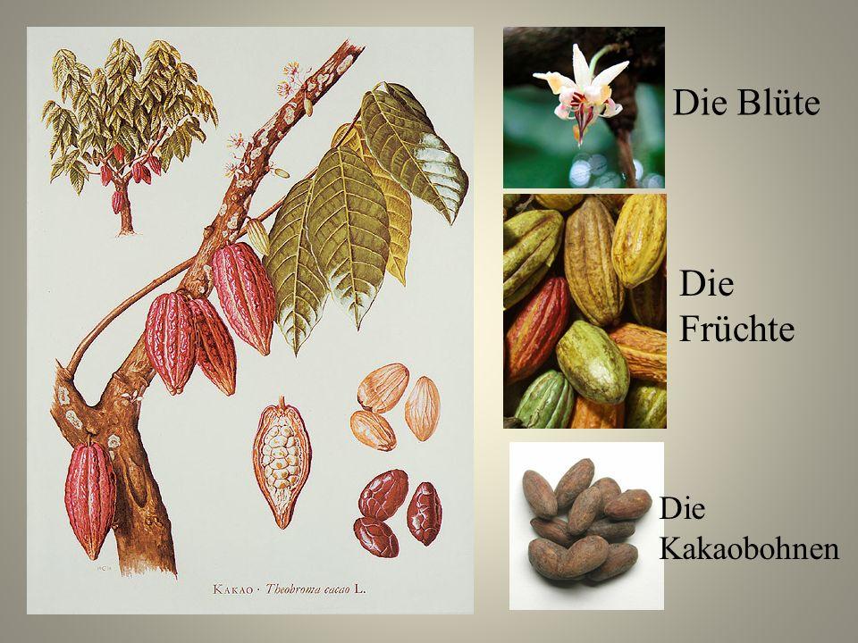 Die Blüte Die Früchte Die Kakaobohnen