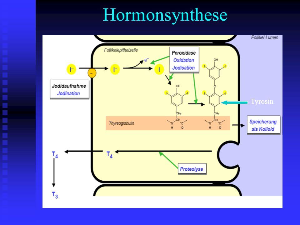 Hormonfreisetzung Proteolyse des Thyreoglobulin T4 Blut Proteolyse des Thyreoglobulin T4 Blut an TBG und Albumin gebunden an TBG und Albumin gebunden Relation freies zu gebundenem Hormon 1:1000 Relation freies zu gebundenem Hormon 1:1000 Thyroxin = Pool für T3 Thyroxin = Pool für T3 T4 Tetrajodthyronin T3 Trijodthyronin T4 Tetrajodthyronin T3 Trijodthyronin nur freie Hormone sind biologisch aktiv nur freie Hormone sind biologisch aktiv HWZ T4 200h T3 20h HWZ T4 200h T3 20h