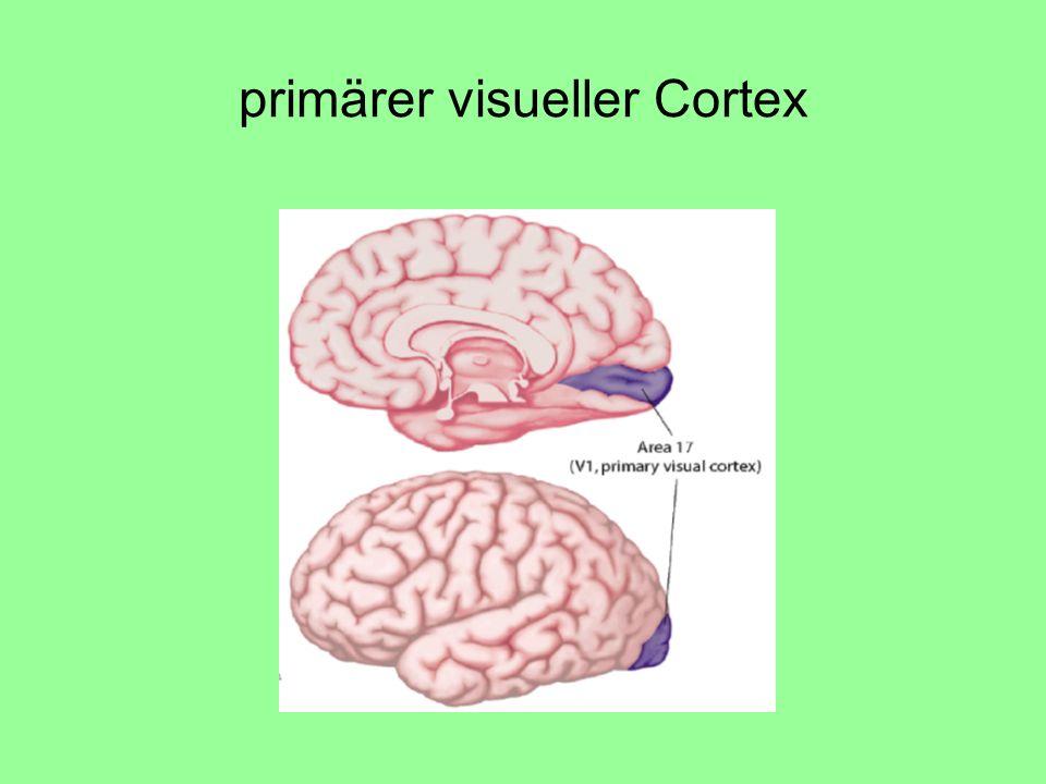 primärer visueller Cortex