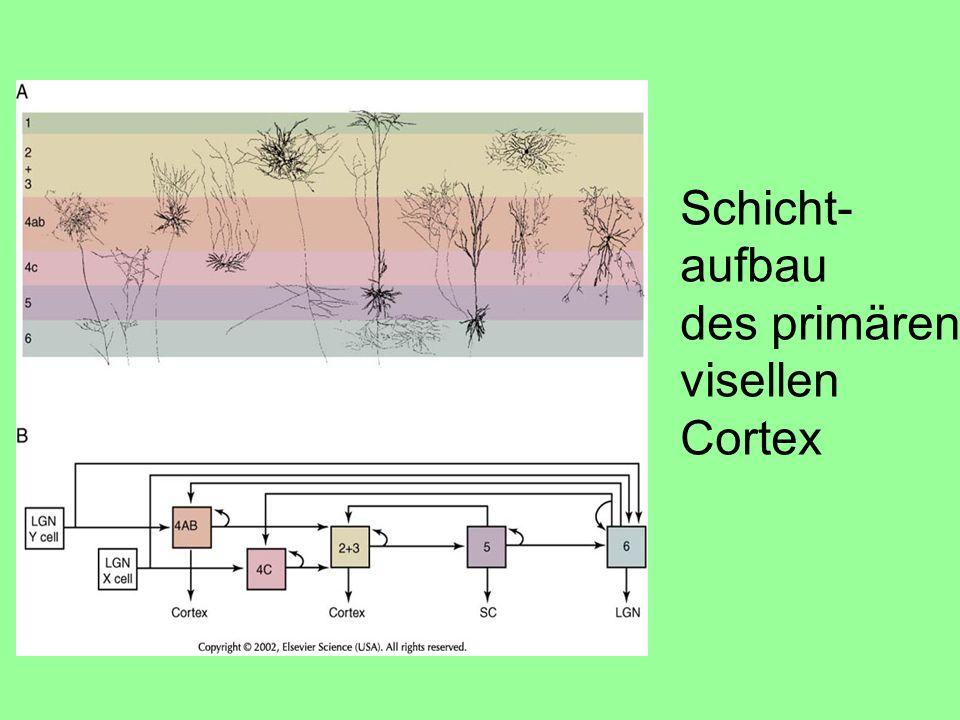 Schicht- aufbau des primären visellen Cortex