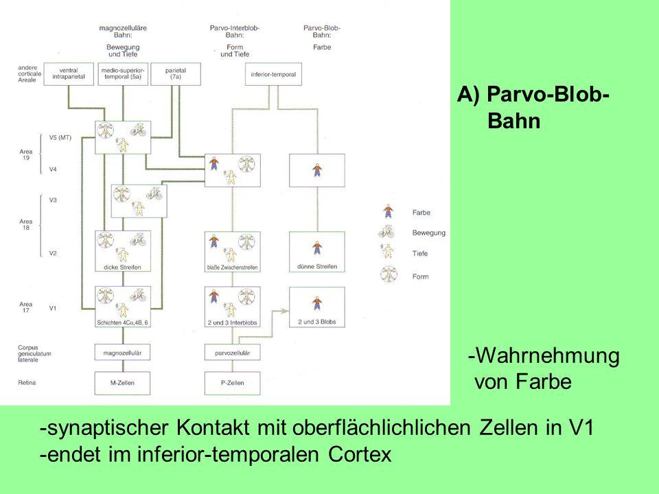 -Wahrnehmung von Farbe -synaptischer Kontakt mit oberflächlichlichen Zellen in V1 -endet im inferior-temporalen Cortex A) Parvo-Blob- Bahn