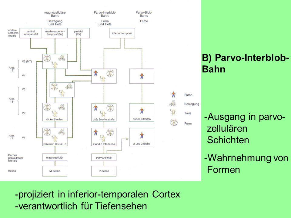 -projiziert in inferior-temporalen Cortex -verantwortlich für Tiefensehen -Ausgang in parvo- zellulären Schichten -Wahrnehmung von Formen B) Parvo-Interblob- Bahn