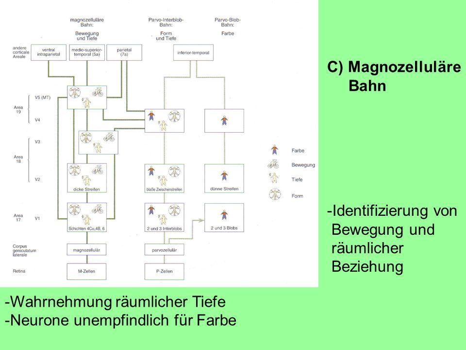 -Wahrnehmung räumlicher Tiefe -Neurone unempfindlich für Farbe -Identifizierung von Bewegung und räumlicher Beziehung C) Magnozelluläre Bahn