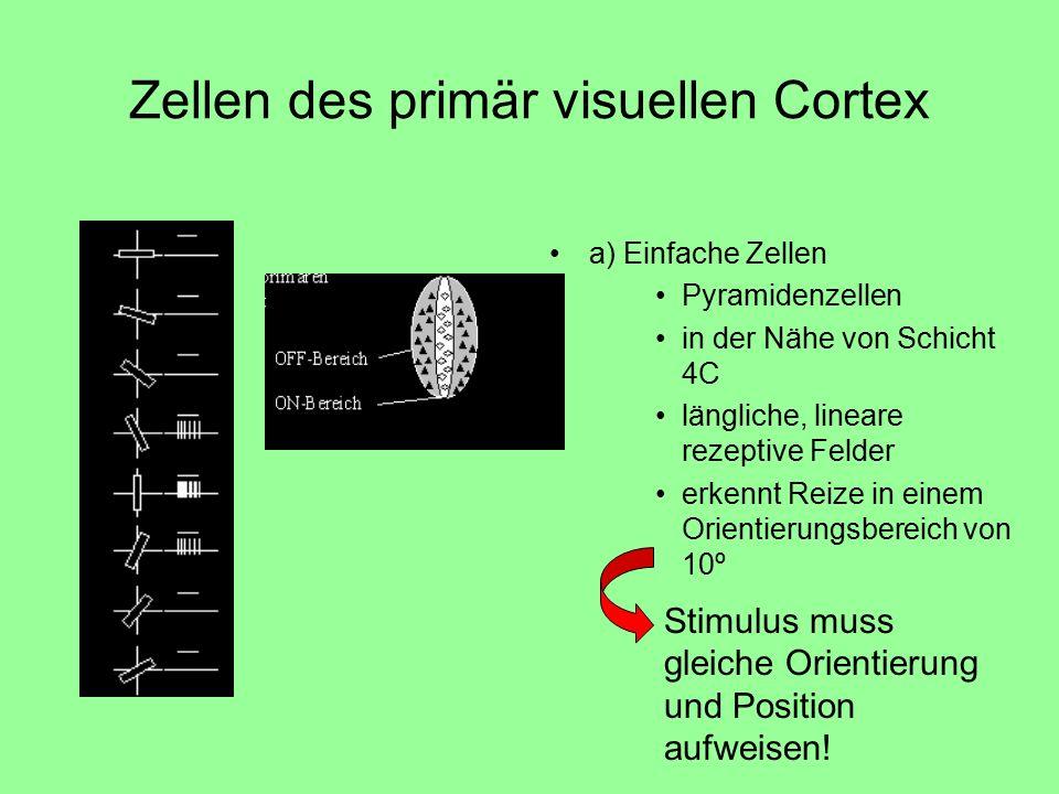 Zellen des primär visuellen Cortex a) Einfache Zellen Pyramidenzellen in der Nähe von Schicht 4C längliche, lineare rezeptive Felder erkennt Reize in einem Orientierungsbereich von 10º Stimulus muss gleiche Orientierung und Position aufweisen!