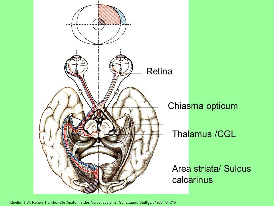 Retina Chiasma opticum Thalamus /CGL Area striata/ Sulcus calcarinus Quelle: J.W.