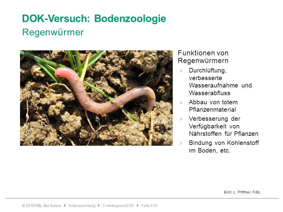 DOK-Versuch: Bodenzoologie Regenwürmer Bild: L. Pfiffner, FiBL Funktionen von Regenwürmern ›Durchlüftung, verbesserte Wasseraufnahme und Wasserabfluss