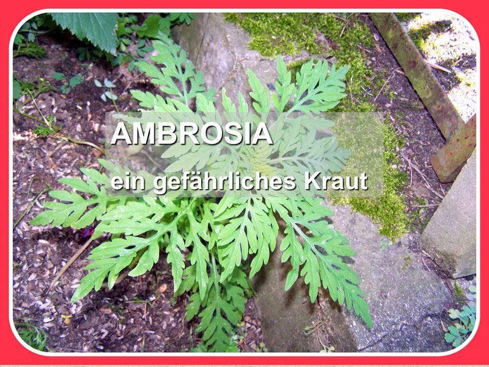 AMBROSIA ein gefährliches Kraut
