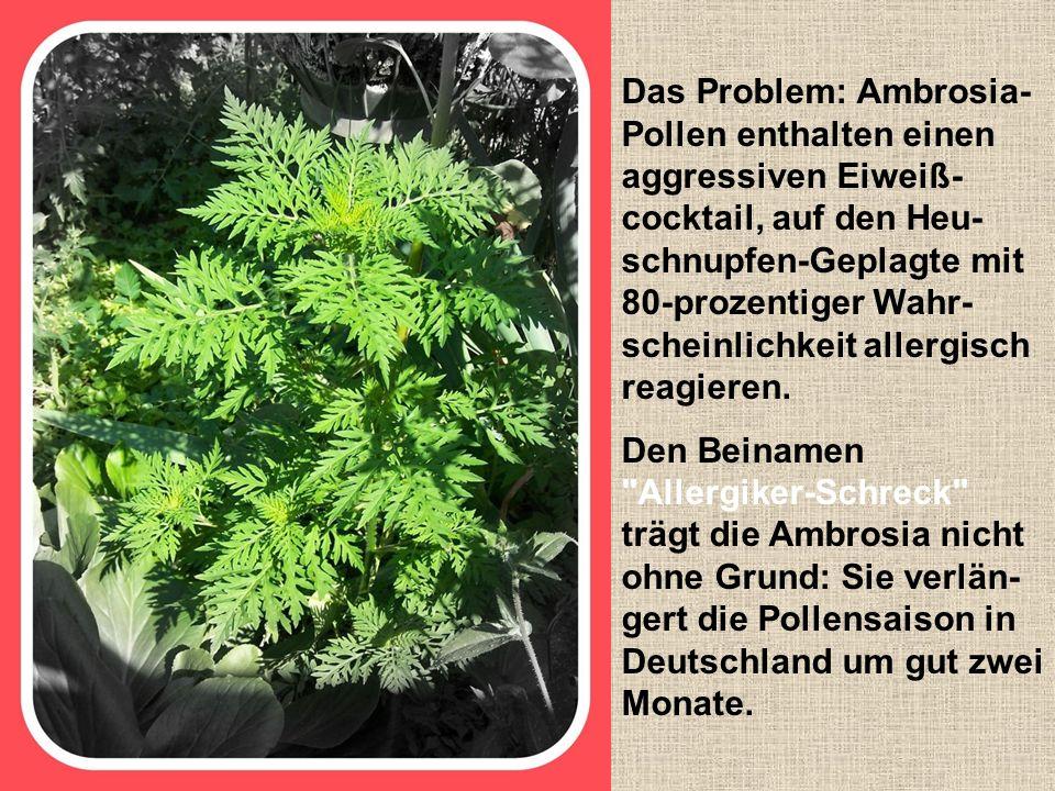 Das Problem: Ambrosia- Pollen enthalten einen aggressiven Eiweiß- cocktail, auf den Heu- schnupfen-Geplagte mit 80-prozentiger Wahr- scheinlichkeit allergisch reagieren.