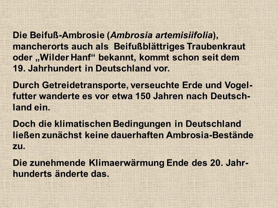"""Die Beifuß-Ambrosie (Ambrosia artemisiifolia), mancherorts auch als Beifußblättriges Traubenkraut oder """"Wilder Hanf bekannt, kommt schon seit dem 19."""