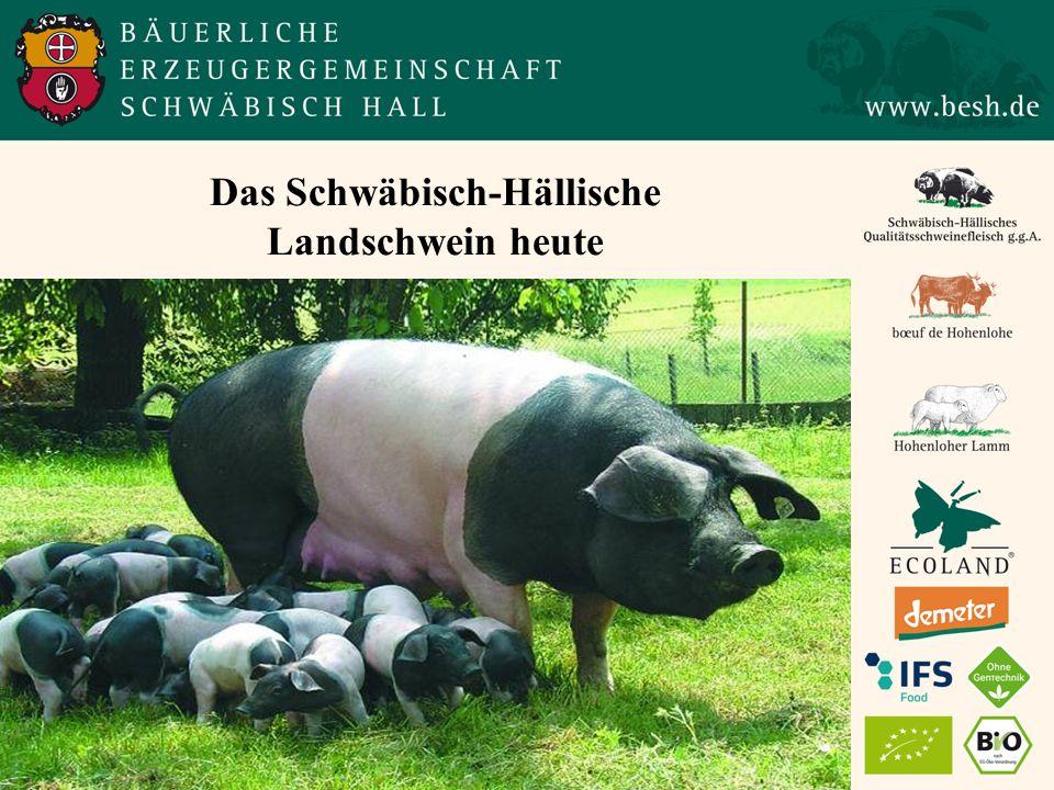 Das Schwäbisch-Hällische Landschwein heute