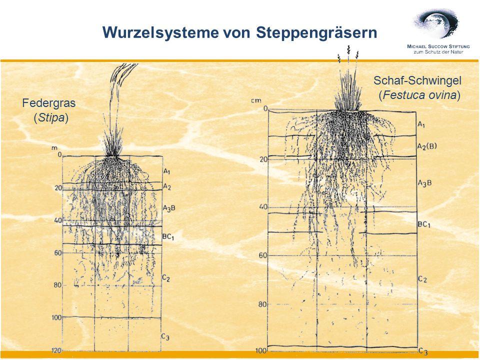 Federgras (Stipa) Schaf-Schwingel (Festuca ovina) Wurzelsysteme von Steppengräsern