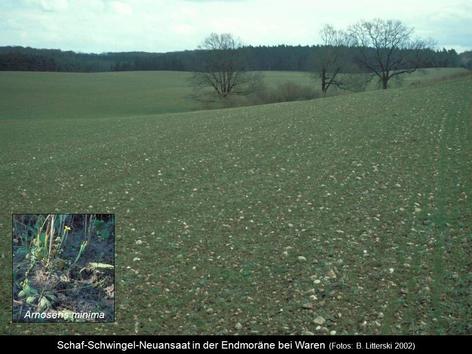 Schaf-Schwingel-Neuansaat in der Endmoräne bei Waren (Fotos: B. Litterski 2002) Arnoseris minima