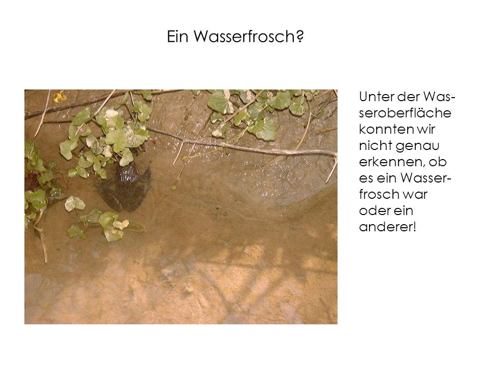 Ein Wasserfrosch.