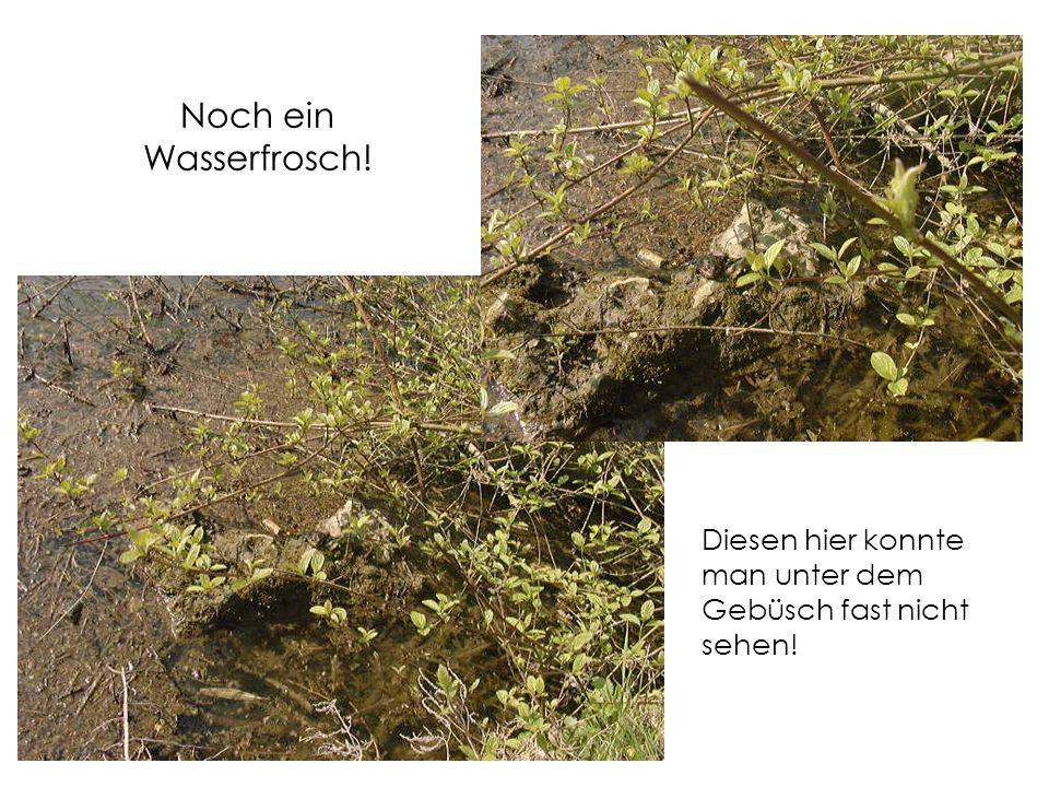 Noch ein Wasserfrosch! Diesen hier konnte man unter dem Gebüsch fast nicht sehen!