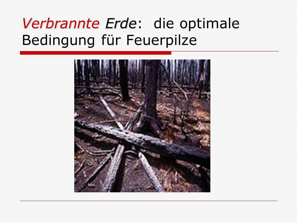 Verbrannte Erde Verbrannte Erde: die optimale Bedingung für Feuerpilze