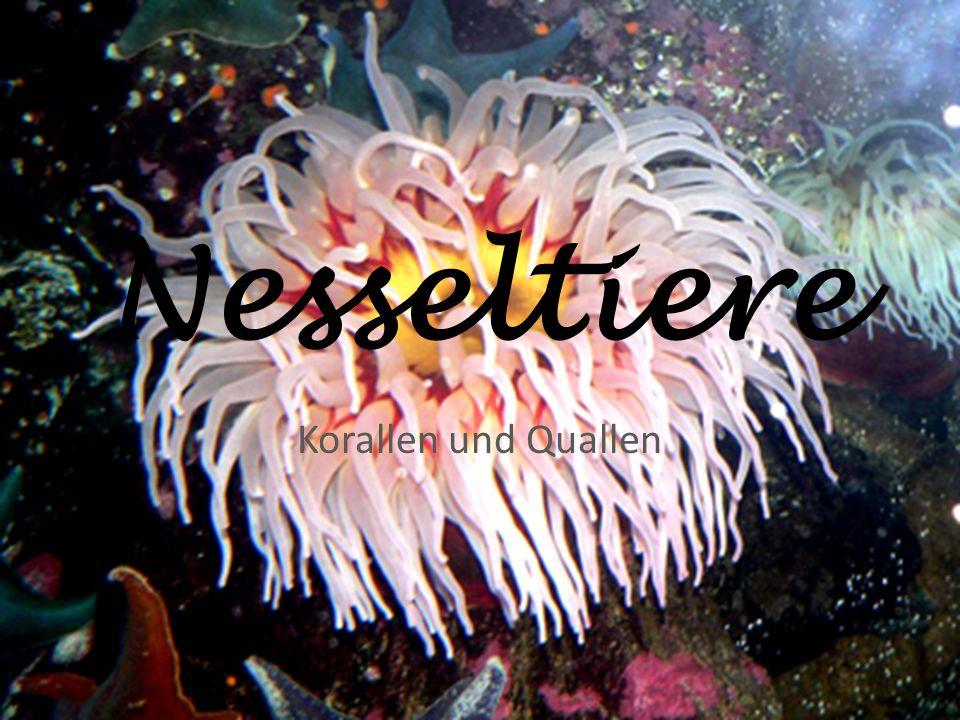 Nesseltiere Korallen und Quallen