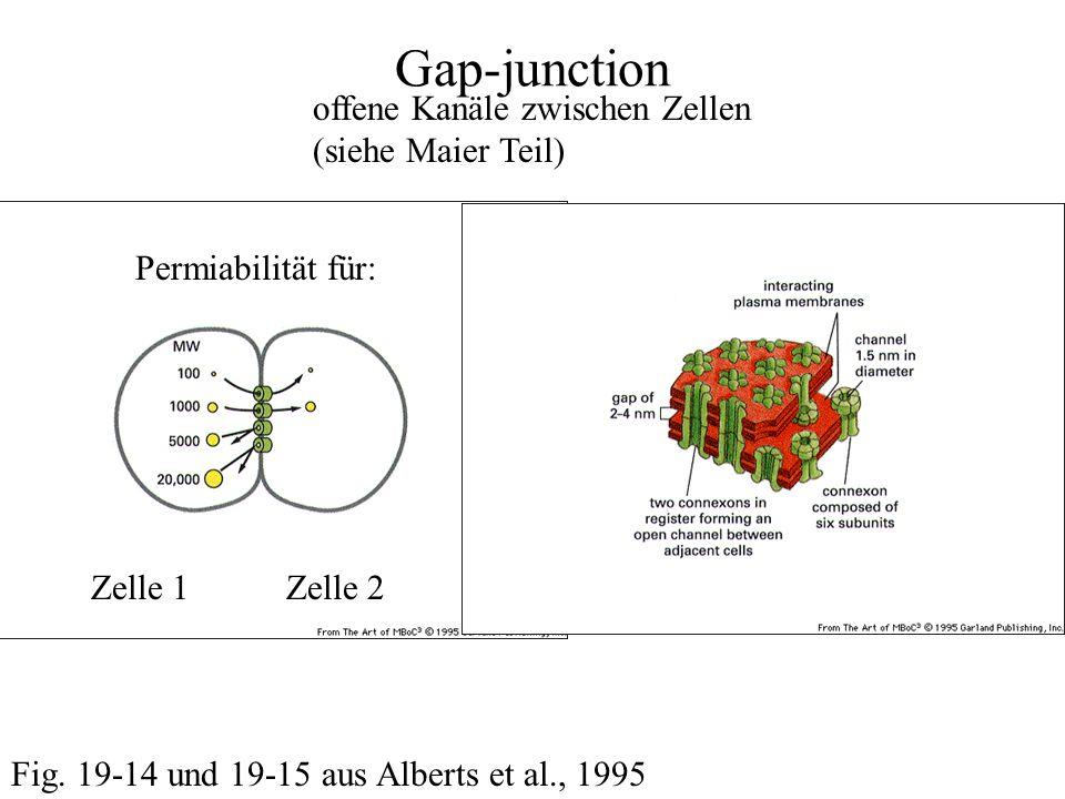 Gap-junction offene Kanäle zwischen Zellen (siehe Maier Teil) Fig.