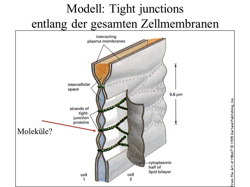 Modell: Tight junctions entlang der gesamten Zellmembranen Moleküle?