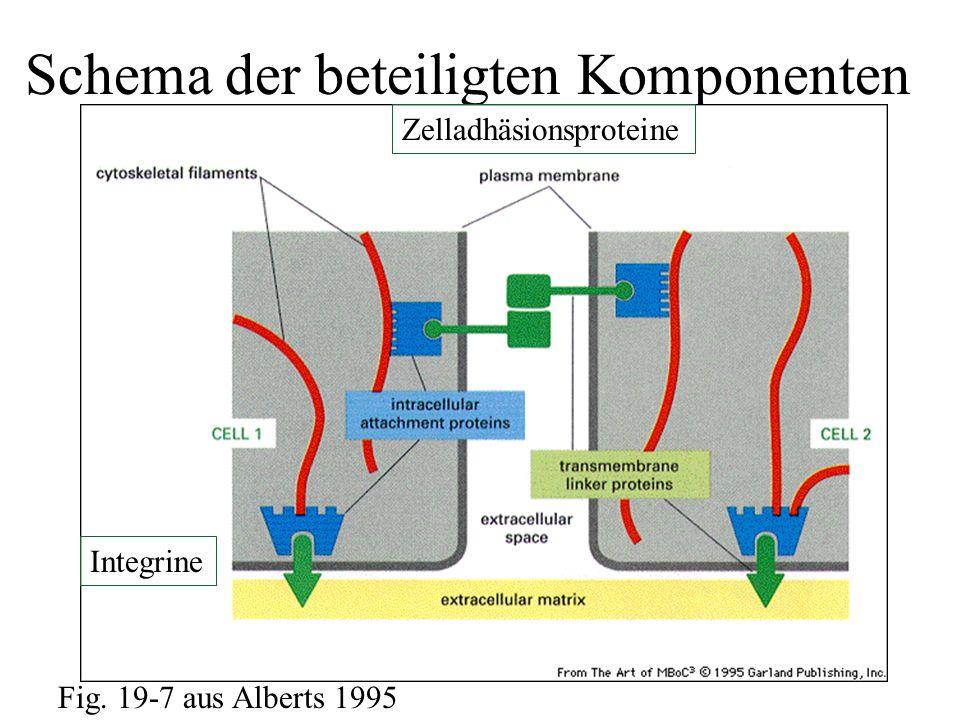 Schema der beteiligten Komponenten Fig. 19-7 aus Alberts 1995 Zelladhäsionsproteine Integrine