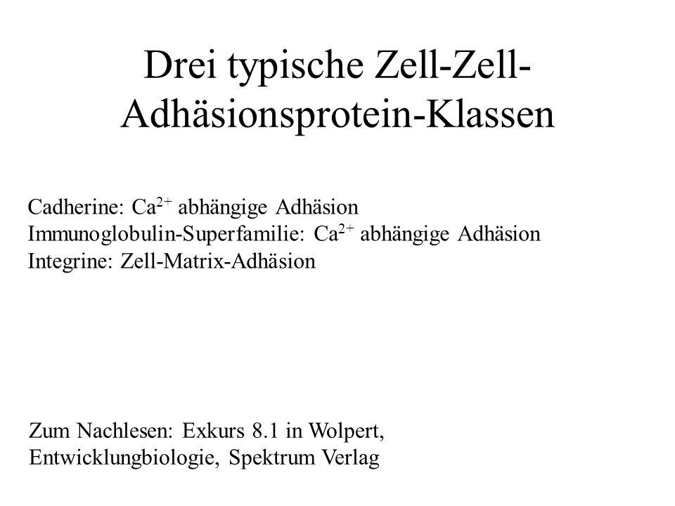 Drei typische Zell-Zell- Adhäsionsprotein-Klassen Cadherine: Ca 2+ abhängige Adhäsion Immunoglobulin-Superfamilie: Ca 2+ abhängige Adhäsion Integrine: Zell-Matrix-Adhäsion Zum Nachlesen: Exkurs 8.1 in Wolpert, Entwicklungbiologie, Spektrum Verlag