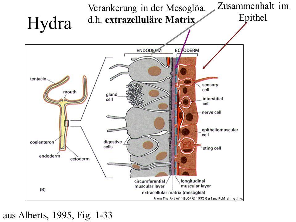 Hydra aus Alberts, 1995, Fig.1-33 Zusammenhalt im Epithel Verankerung in der Mesoglöa.