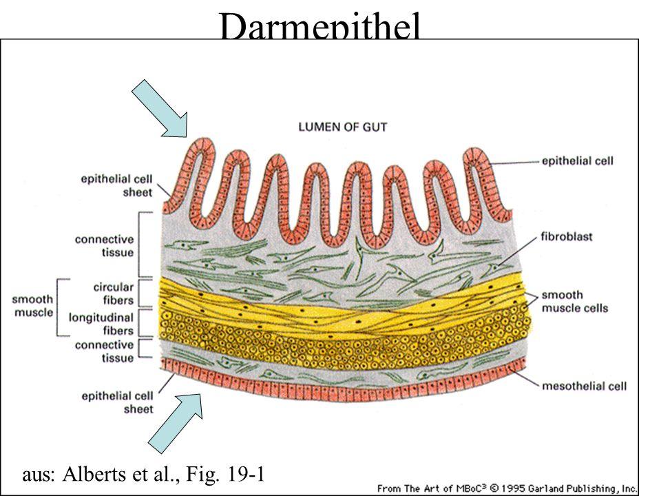Darmepithel aus: Alberts et al., Fig. 19-1