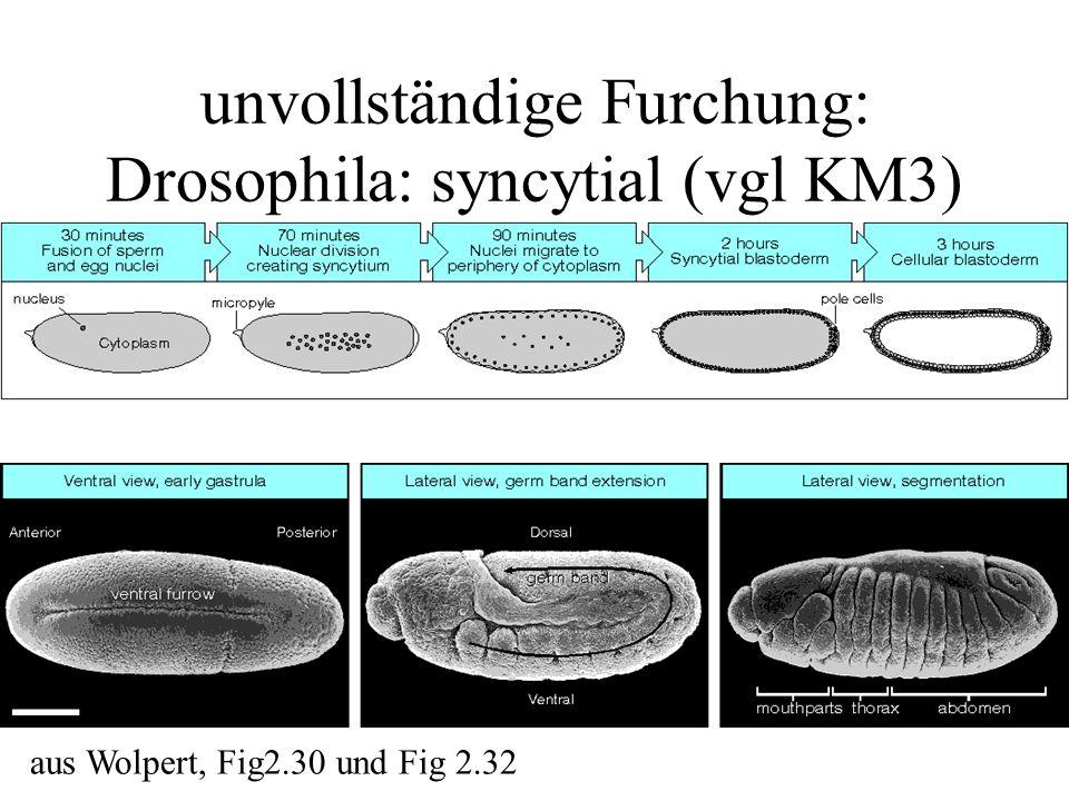unvollständige Furchung: Drosophila: syncytial (vgl KM3) aus Wolpert, Fig2.30 und Fig 2.32