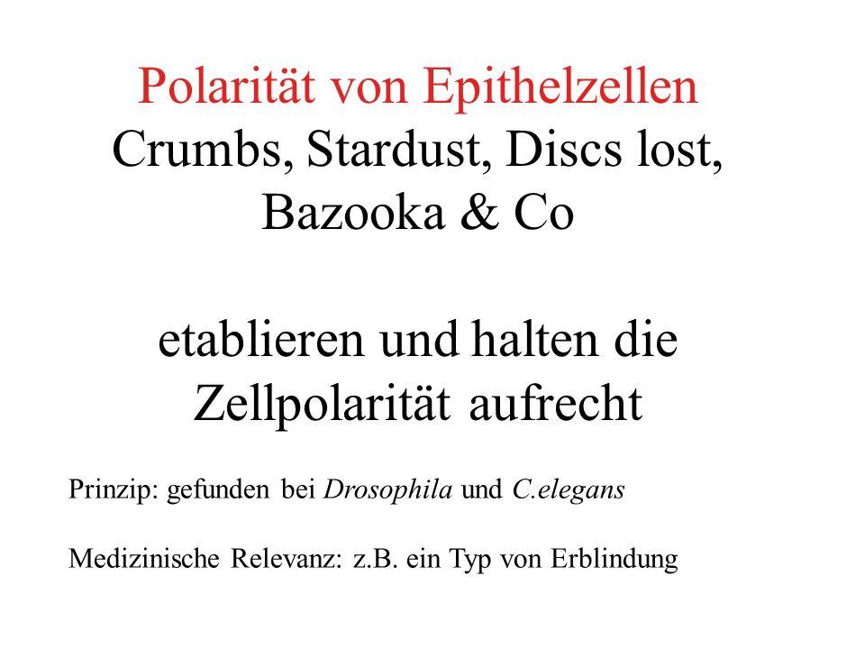 Polarität von Epithelzellen Crumbs, Stardust, Discs lost, Bazooka & Co etablieren und halten die Zellpolarität aufrecht Prinzip: gefunden bei Drosophila und C.elegans Medizinische Relevanz: z.B.
