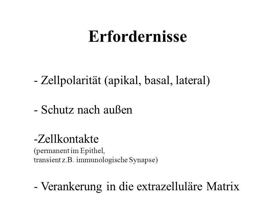 Erfordernisse - Zellpolarität (apikal, basal, lateral) - Schutz nach außen -Zellkontakte (permanent im Epithel, transient z.B.