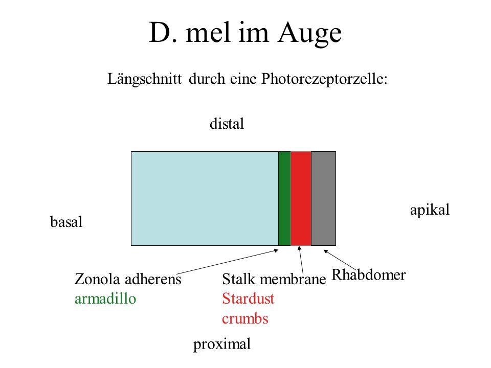 D. mel im Auge Längschnitt durch eine Photorezeptorzelle: basal apikal distal proximal Rhabdomer Stalk membrane Stardust crumbs Zonola adherens armadi