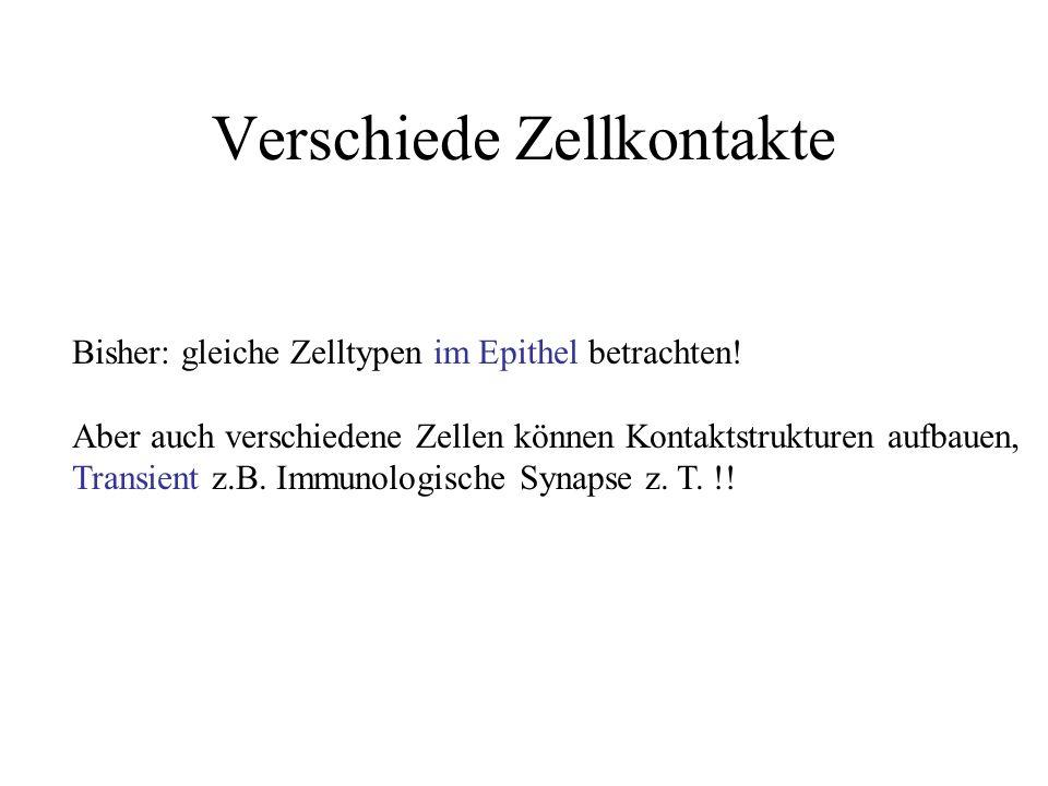 Verschiede Zellkontakte Bisher: gleiche Zelltypen im Epithel betrachten.