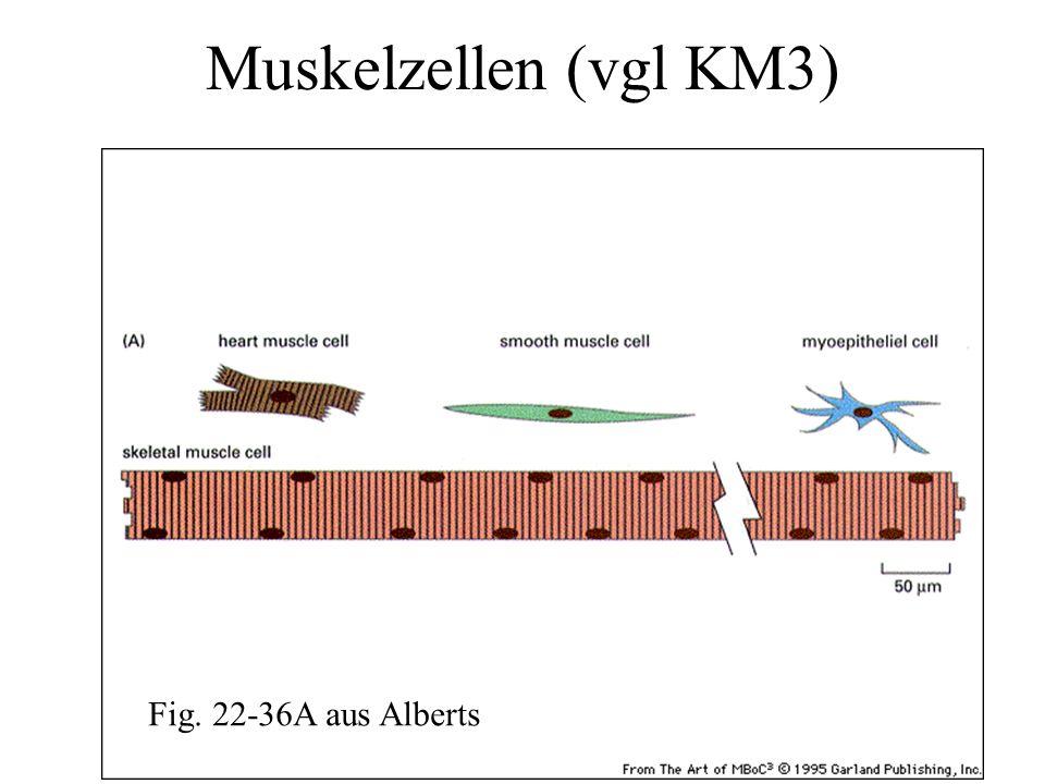 Muskelzellen (vgl KM3) Fig. 22-36A aus Alberts