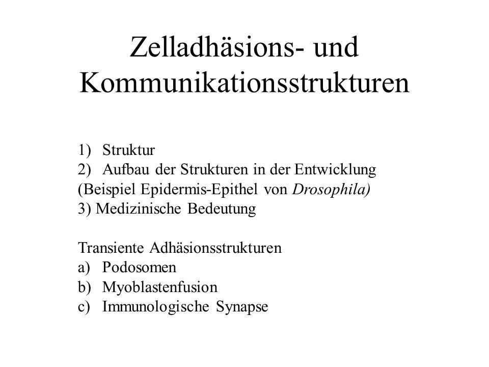 Zelladhäsions- und Kommunikationsstrukturen 1)Struktur 2)Aufbau der Strukturen in der Entwicklung (Beispiel Epidermis-Epithel von Drosophila) 3) Medizinische Bedeutung Transiente Adhäsionsstrukturen a)Podosomen b)Myoblastenfusion c)Immunologische Synapse