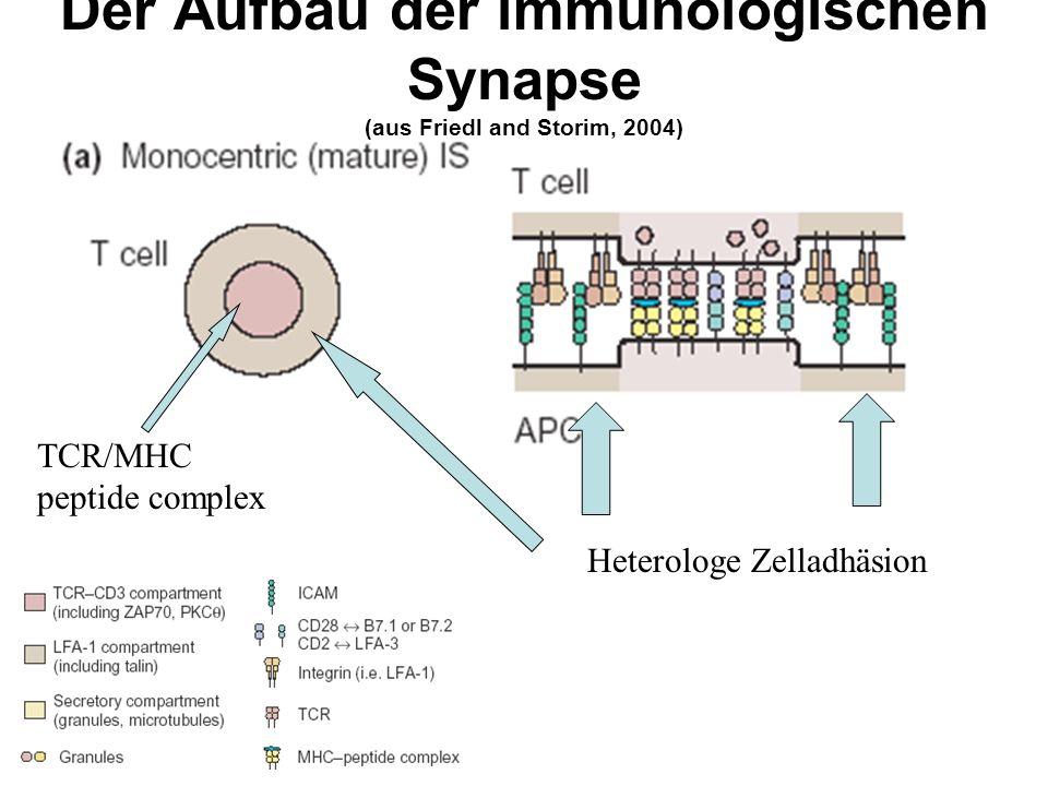 Der Aufbau der immunologischen Synapse (aus Friedl and Storim, 2004) Heterologe Zelladhäsion TCR/MHC peptide complex