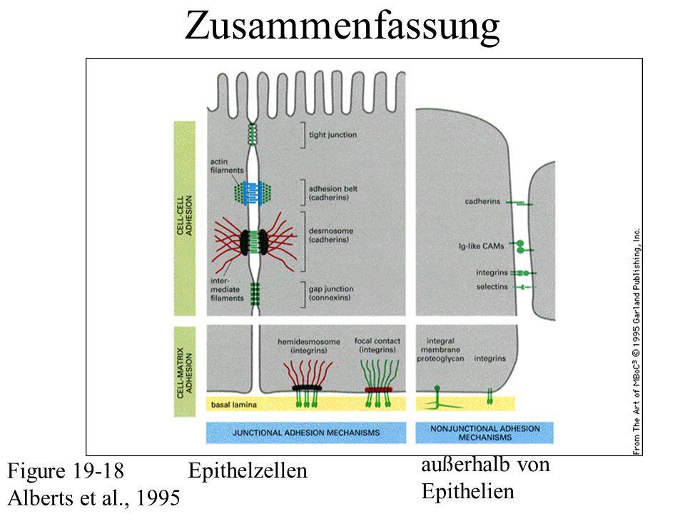 Zusammenfassung Figure 19-18 Alberts et al., 1995 Epithelzellen außerhalb von Epithelien