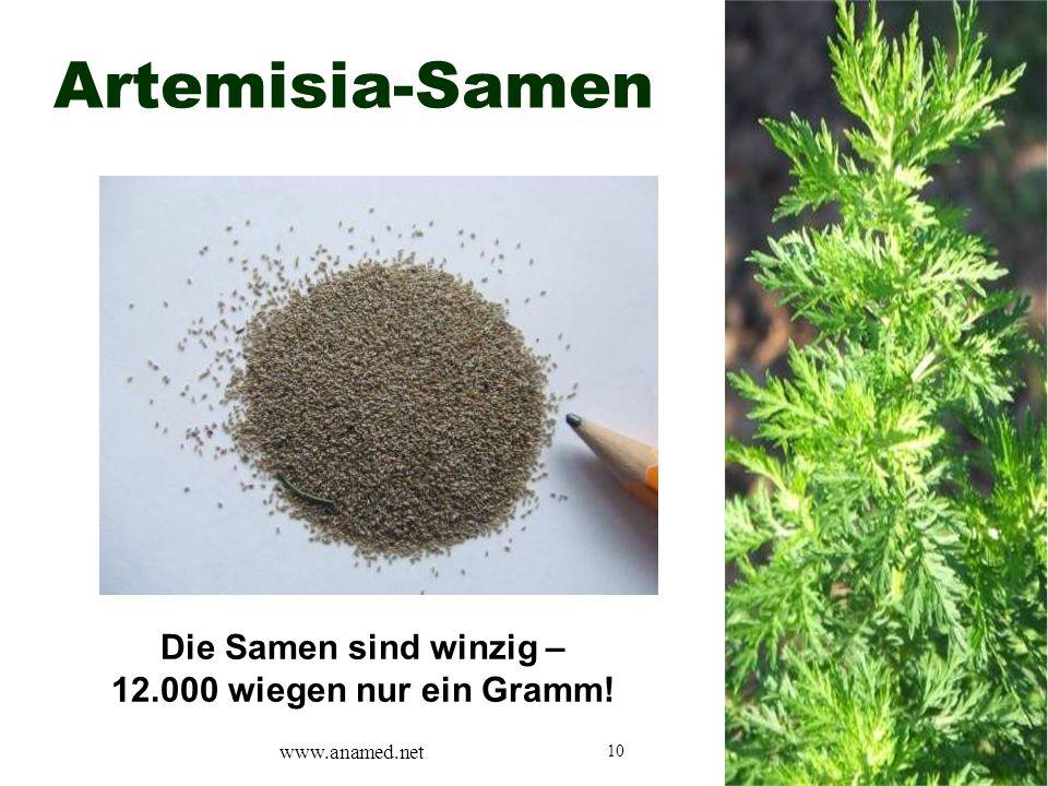 10 Artemisia-Samen Die Samen sind winzig – 12.000 wiegen nur ein Gramm! www.anamed.net