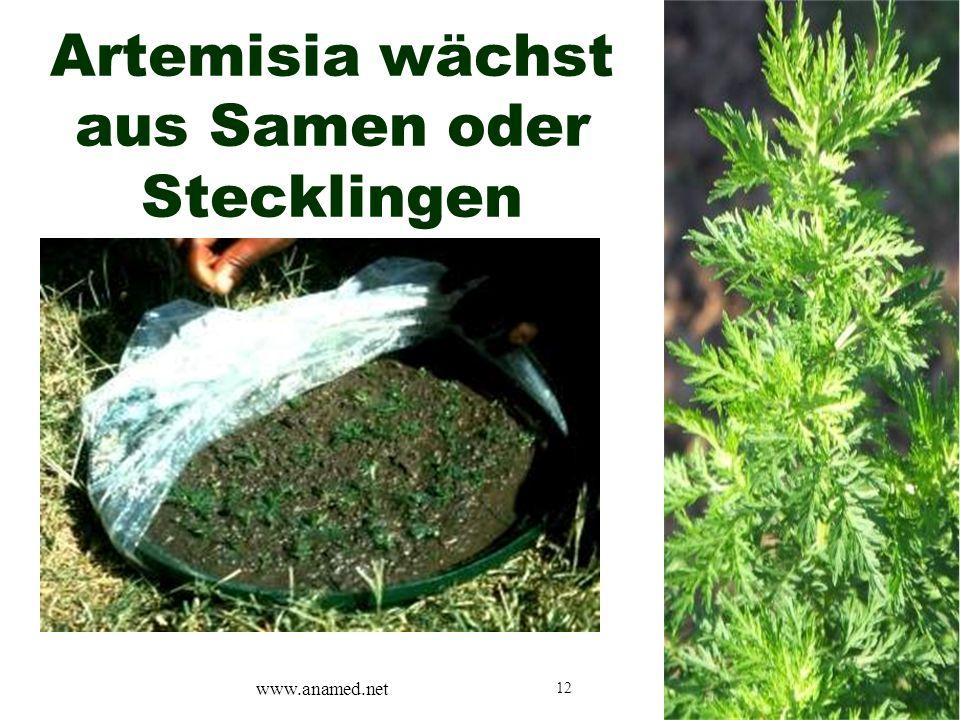 12 Artemisia wächst aus Samen oder Stecklingen www.anamed.net