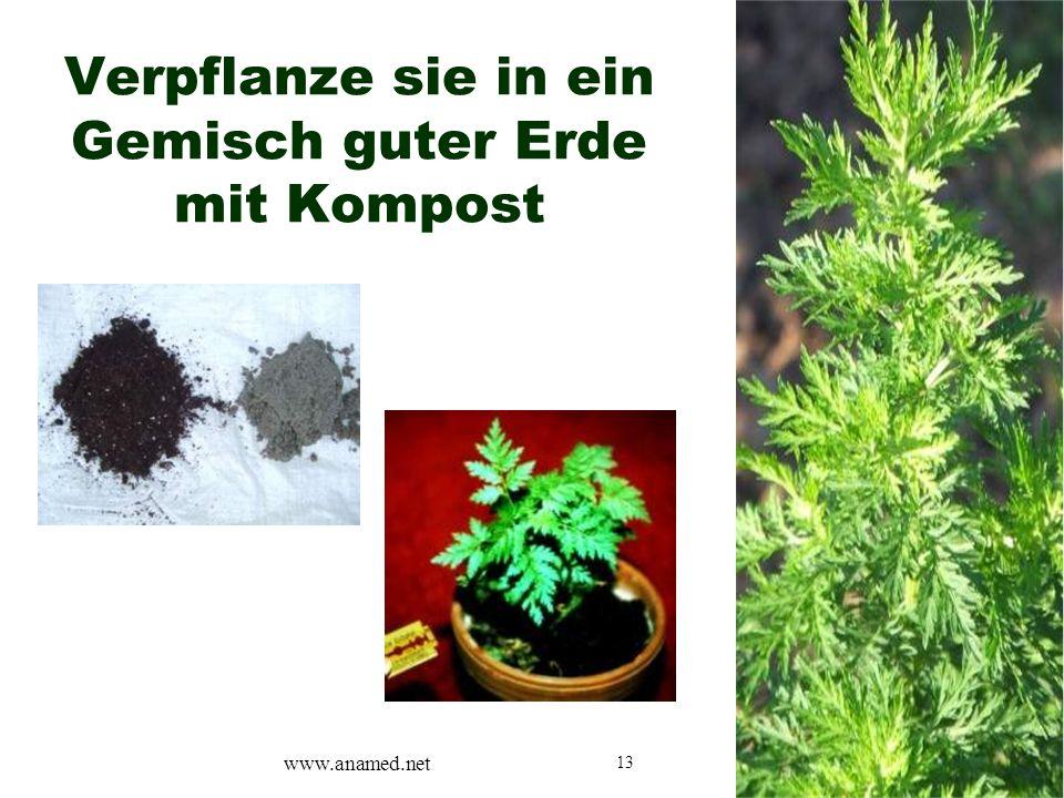 13 Verpflanze sie in ein Gemisch guter Erde mit Kompost www.anamed.net