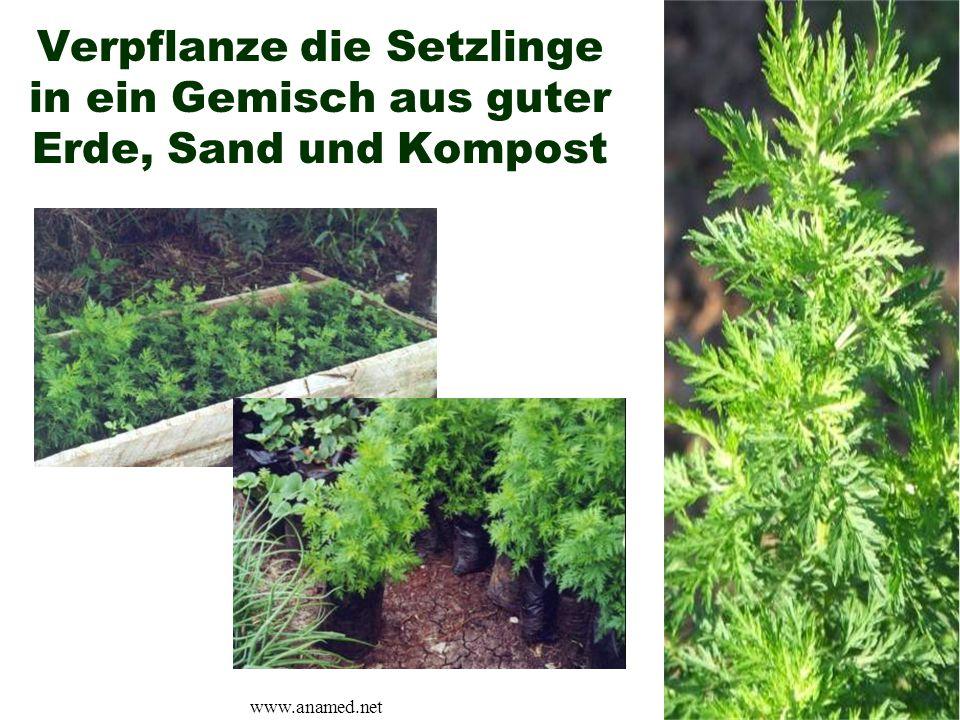 Verpflanze die Setzlinge in ein Gemisch aus guter Erde, Sand und Kompost www.anamed.net