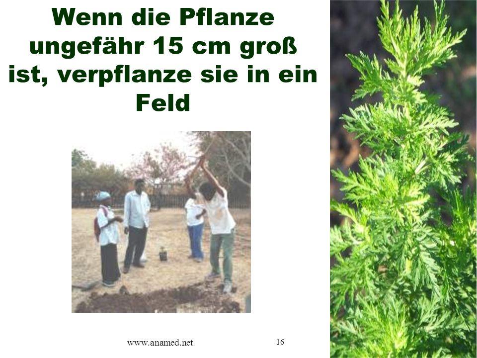 16 Wenn die Pflanze ungefähr 15 cm groß ist, verpflanze sie in ein Feld www.anamed.net