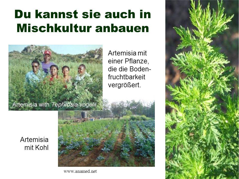 Du kannst sie auch in Mischkultur anbauen Artemisia mit Kohl Artemisia mit einer Pflanze, die die Boden- fruchtbarkeit vergrößert. www.anamed.net
