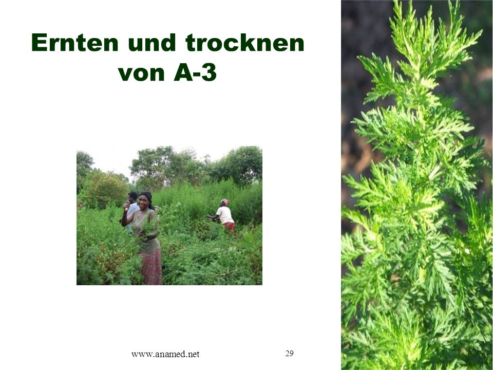 29 Ernten und trocknen von A-3 www.anamed.net