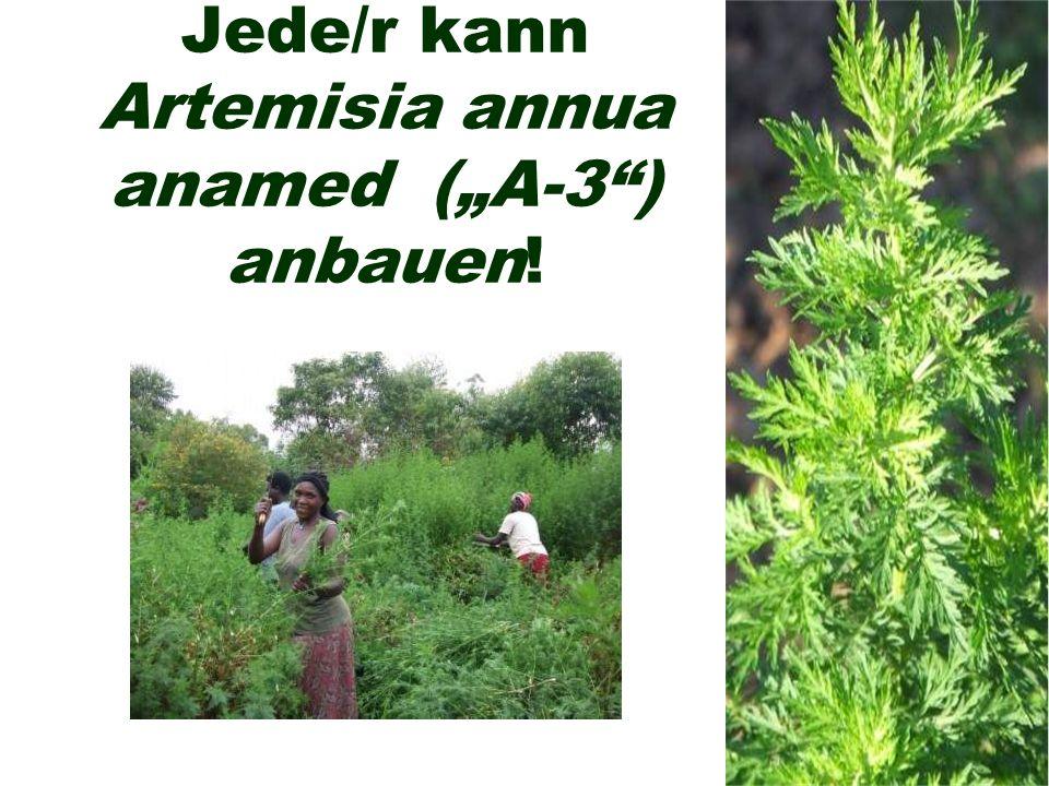"""Jede/r kann Artemisia annua anamed (""""A-3 ) anbauen!"""