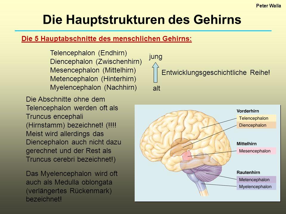 Die 5 Hauptabschnitte des menschlichen Gehirns: Telencephalon (Endhirn) Diencephalon (Zwischenhirn) Mesencephalon (Mittelhirn) Metencephalon (Hinterhi
