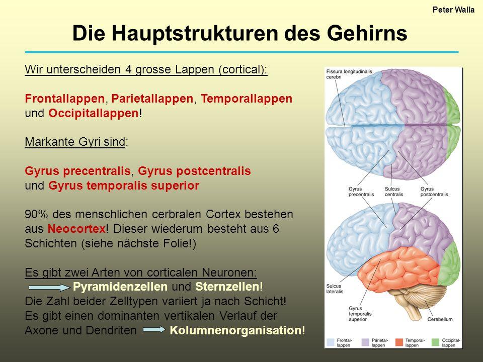 Wir unterscheiden 4 grosse Lappen (cortical): Frontallappen, Parietallappen, Temporallappen und Occipitallappen! Markante Gyri sind: Gyrus precentrali