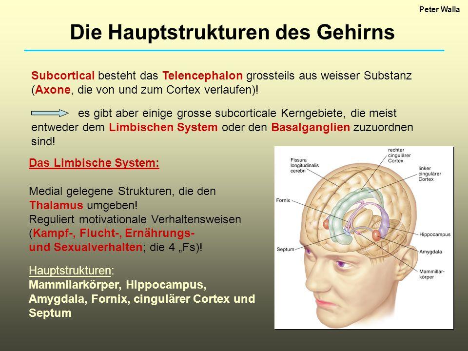 Das Limbische System: Medial gelegene Strukturen, die den Thalamus umgeben! Reguliert motivationale Verhaltensweisen (Kampf-, Flucht-, Ernährungs- und