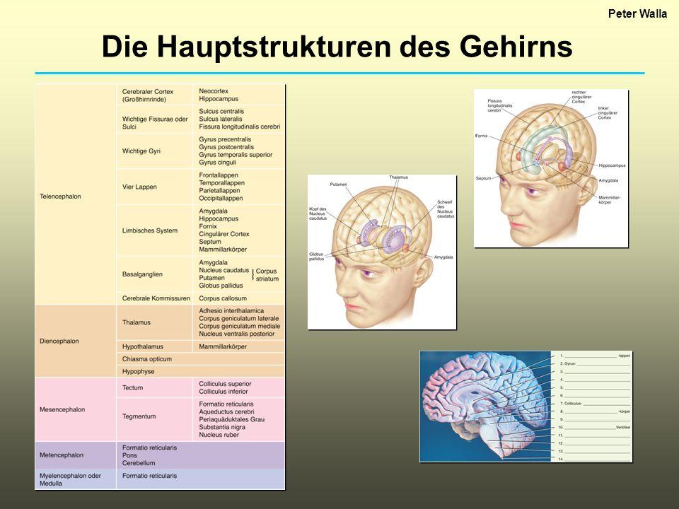Die Hauptstrukturen des Gehirns Peter Walla