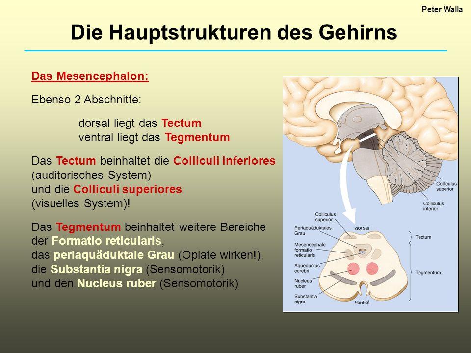 Das Mesencephalon: Ebenso 2 Abschnitte: dorsal liegt das Tectum ventral liegt das Tegmentum Das Tectum beinhaltet die Colliculi inferiores (auditorisc