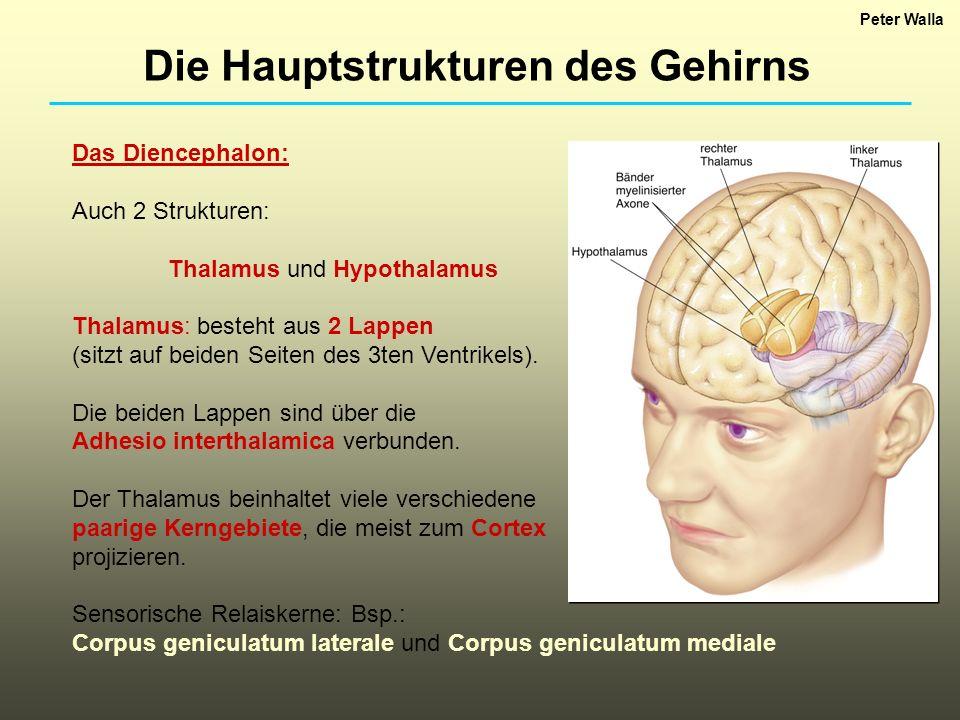 Das Diencephalon: Auch 2 Strukturen: Thalamus und Hypothalamus Thalamus: besteht aus 2 Lappen (sitzt auf beiden Seiten des 3ten Ventrikels). Die beide
